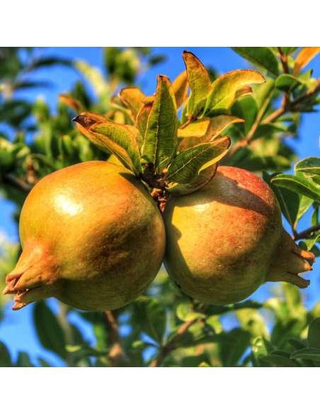Mangopulver Bio bewusstnatur Granatapfelbaum