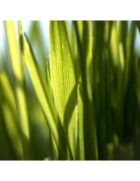 Weizengraspulver Bio bewusstnatur Pflanze