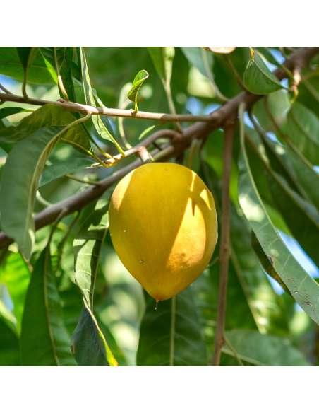 Lucumapulver Bio bewusstnatur Lucumabaum