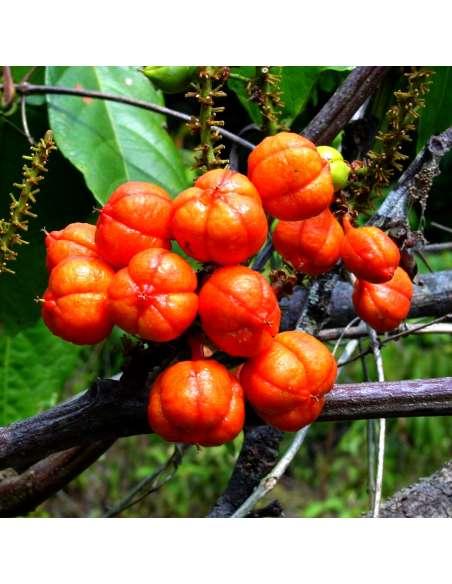 bewusstnatur-shop. guaranapflanze