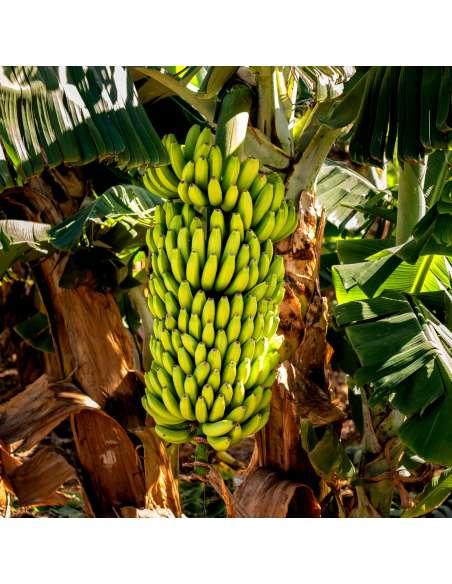 Bananenpulver Bio bewusstnatur Bananenstaude