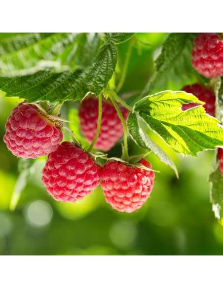 Himbeerpulver Bio bewusstnatur Himbeere-Frucht
