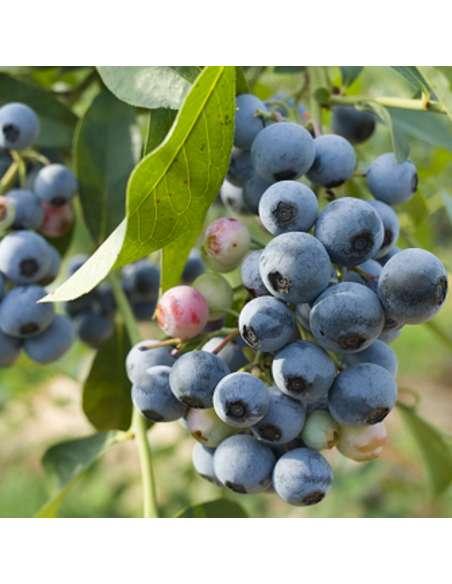 Blaubeerpulver Bio bewusstnatur Blaubeerpflanze